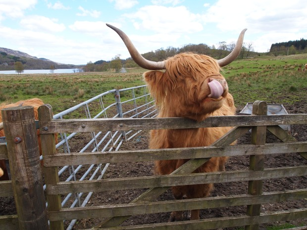 Hairy Coos!